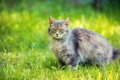 Sibirische Katze, die auf dem Gras sich entspannt Lizenzfreie Stockbilder