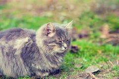 Sibirische Katze, die auf dem Gras sich entspannt Stockfotografie