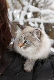 Sibirische Katze im Winter Lizenzfreies Stockfoto