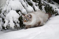 Sibirische Katze im Winter Lizenzfreie Stockfotografie
