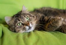 Sibirische Katze mit einem träumerischen Blick Stockfotografie