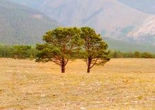 Sibirische Kiefer auf dem Gebiet Lizenzfreie Stockfotografie