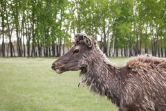 Sibirische Rotwild, die trockenes Gras im Wald auf dem wilden essen Stockbild