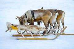 Sibirische Rotwild im Geschirr mit Pferdeschlitten stockfotos