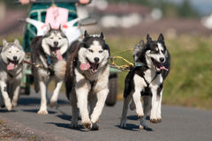 Sibirische Schlittenhunde Stockbild