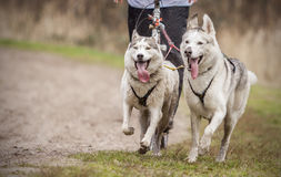 Sibirische Schlittenhunde Lizenzfreies Stockfoto