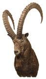 Sibirische Steinbocktrophäe Stockfoto