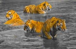 Sibirische Tiger in Harbin, China stockbild