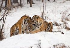 Sibirische Tiger-Paare Lizenzfreies Stockbild