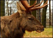 Sibirische Wapitis Lizenzfreie Stockfotografie