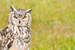 Sibirischer Adlereule oder Bubo Bubo sibericus Lizenzfreies Stockfoto