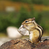 Sibirischer Chipmunk Lizenzfreies Stockfoto