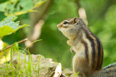 Sibirischer Chipmunk Stockfotos