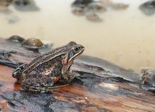 Sibirischer hölzerner Frosch Stockfoto
