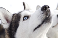 Sibirischer Husky Stockfotografie
