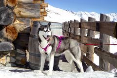 Sibirischer Husky, der auf dem Schnee nahe Holzhaus stillsteht Lizenzfreies Stockbild