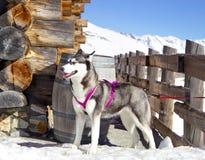 Sibirischer Husky, der auf dem Schnee nahe Holzhaus stillsteht Stockbild