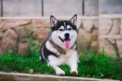 Sibirischer Husky, der auf Gras legt lizenzfreie stockfotografie