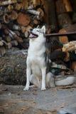 Sibirischer Husky, der im Woodpile des Brennholzes sitzt Lizenzfreies Stockfoto