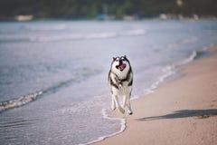Sibirischer Husky, der wie verrückt am Strand läuft stockfotografie