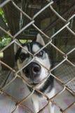 Sibirischer Husky in einem Käfig, der Kamera schaut Stockbild