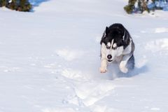 Sibirischer Husky erobert Schneewehen lizenzfreie stockfotografie