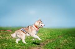 Sibirischer Husky hellrot und weiße Farben, die auf Gras springen Stockfotografie