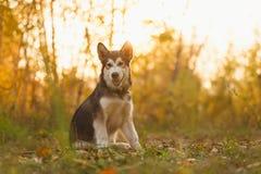 Sibirischer Husky im Herbstwald Lizenzfreie Stockfotografie
