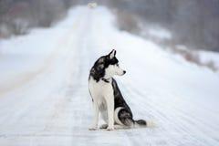 Sibirischer Husky im Winter lizenzfreie stockfotos