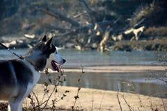 Sibirischer Husky nahe einem Fluss Stockfotografie