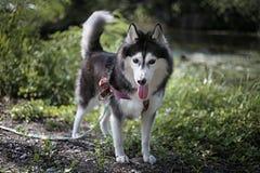 Sibirischer Husky nennt Alis Stockbild