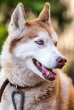Sibirischer Husky nett, intelligente, emotionale Porträtmalerei Lizenzfreie Stockfotografie