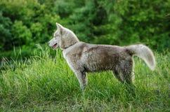 Sibirischer Husky steht auf Gras Stockfotografie
