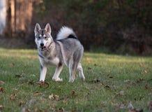 Sibirischer Husky und Fallfarben lizenzfreie stockfotos