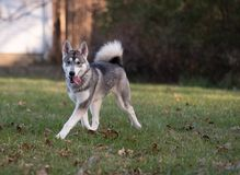 Sibirischer Husky und Fallfarben stockfotos