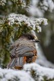 Sibirischer Jay lizenzfreies stockbild