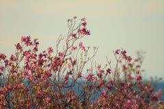 Sibirischer Rhododendron Stockbild