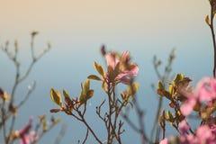 Sibirischer Rhododendron Lizenzfreie Stockfotografie