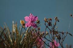 Sibirischer Rhododendron Lizenzfreie Stockbilder