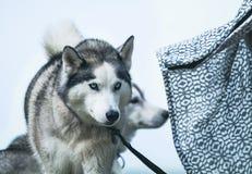 Sibirischer Schlittenhund Stockfotos