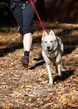 Sibirischer Schlittenhund Lizenzfreie Stockfotos