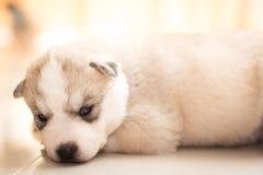 Sibirischer Schlittenhund Stockbilder