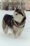 Sibirischer Schlittenhund Lizenzfreies Stockbild