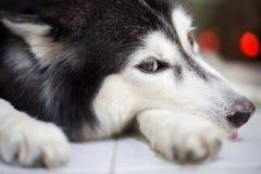 Sibirischer Schlittenhund Stockfoto