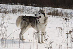Sibirischer Schlittenhund in einer Steppelandschaft Stockfotos