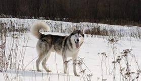 Sibirischer Schlittenhund in einer Steppelandschaft Stockbild