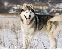 Sibirischer Schlittenhund in einer Steppelandschaft Stockbilder