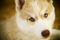 Sibirischer Schlittenhund-Welpe Stockfoto