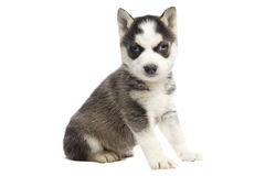 Sibirischer Schlittenhund-Welpe Lizenzfreies Stockbild