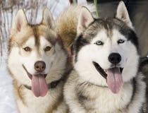 Sibirischer Schlittenhund zwei Stockbild